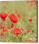 Common Poppies Acrylic Print