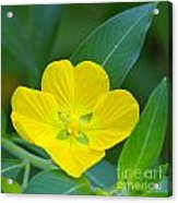Common Primrose Willow 1 Acrylic Print
