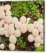 Common Puffball Mushrooms Lycoperdon Perlatum Acrylic Print