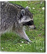 Common Raccoon Acrylic Print