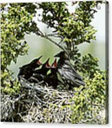Common Raven Feeding Young In Nest Acrylic Print