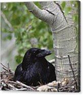 Common Raven Incubating Eggs In Nest Acrylic Print