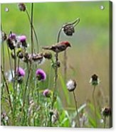 Common Redpoll In A Field Of Thistle Acrylic Print