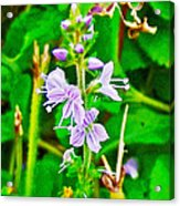 Common Speedwell On Skyline Trail In Cape Breton Highlands National Park-nova Scotia  Acrylic Print