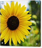 Common Sunflower Acrylic Print