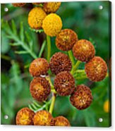 Common Tansy At The End Of Life Acrylic Print