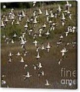 Common Teal Anas Crecca 1 Acrylic Print