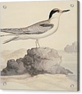 Common Tern, 19th Century Artwork Acrylic Print by Science Photo Library