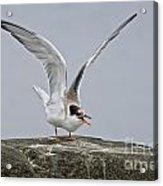 Common Tern Pictures 34 Acrylic Print