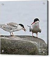 Common Tern Pictures 39 Acrylic Print