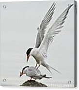 Common Tern Pictures 40 Acrylic Print