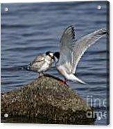 Common Tern Pictures 48 Acrylic Print