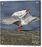 Common Tern Pictures 51 Acrylic Print
