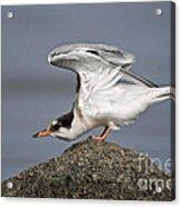 Common Tern Pictures 67 Acrylic Print