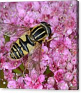 Common Tiger Hoverfly Acrylic Print