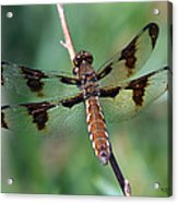 Common White-tail Dragonfly Acrylic Print