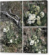 Common Yarrow Collage Acrylic Print