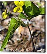 Common Yellow Violet Acrylic Print