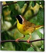 Common Yellowthroat Warbler Acrylic Print
