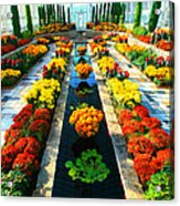 Como Conservatory's Fall Display. St Paul Minnesota. Acrylic Print