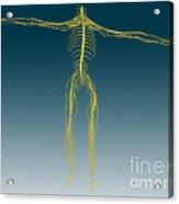Conceptual Image Of Human Nervous Acrylic Print