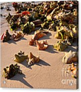 Conch Collection Acrylic Print