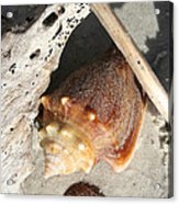 Conchs With Driftwood I Acrylic Print