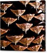 Cone Close Up Acrylic Print