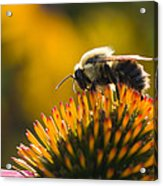 Cone Flower And Bee Acrylic Print