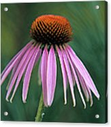Cone Flower In Vertical Format Acrylic Print