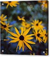 Cone Flowers Acrylic Print
