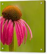 Coneflower - Summer Color Acrylic Print