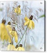 Coneflower And Bee 1  Acrylic Print