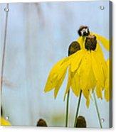 Coneflower And Bee 2  Acrylic Print