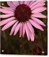 Coneflower And Dusty Miller Acrylic Print