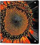 Coneflower Heart Acrylic Print
