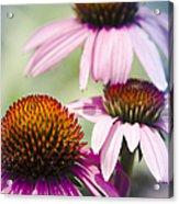 Coneflower Jewel Tones - Echinacea Acrylic Print