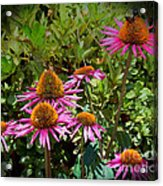 Coneflowers Acrylic Print by Annette Allman
