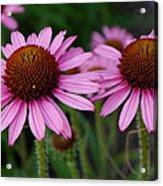 Coneflowers - Echinacea Purpurea Acrylic Print