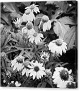 Coneflowers Echinacea Rudbeckia Bw Acrylic Print by Rich Franco