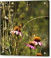 Coneflowers Weeds And Bee Acrylic Print