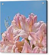 Confectioners Pink Acrylic Print