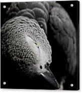 Congo African Grey 1 Acrylic Print by Paulina Szajek