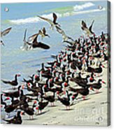 Congregating Skimmers Acrylic Print