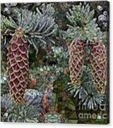 Conifer Cones Acrylic Print