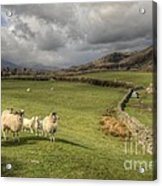 Coniston Sheep  Acrylic Print