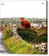 Connemara Cow Acrylic Print