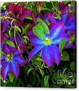 Constance's Clematis Acrylic Print