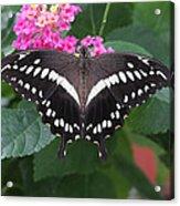 Constantines Swallowtail Acrylic Print
