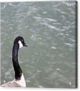 Canadian Goose Contemplating A Swim  Acrylic Print